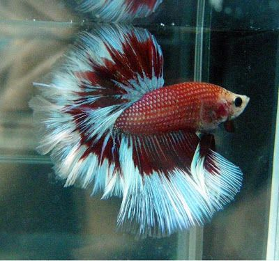 1000 images about all about bettas on pinterest fish for Rare types of betta fish