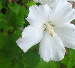 How to Prune Althea | Garden Guides