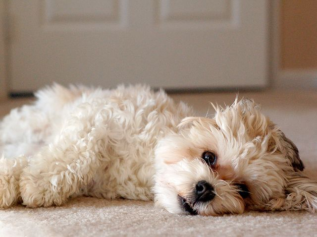 exhausted havanese pup