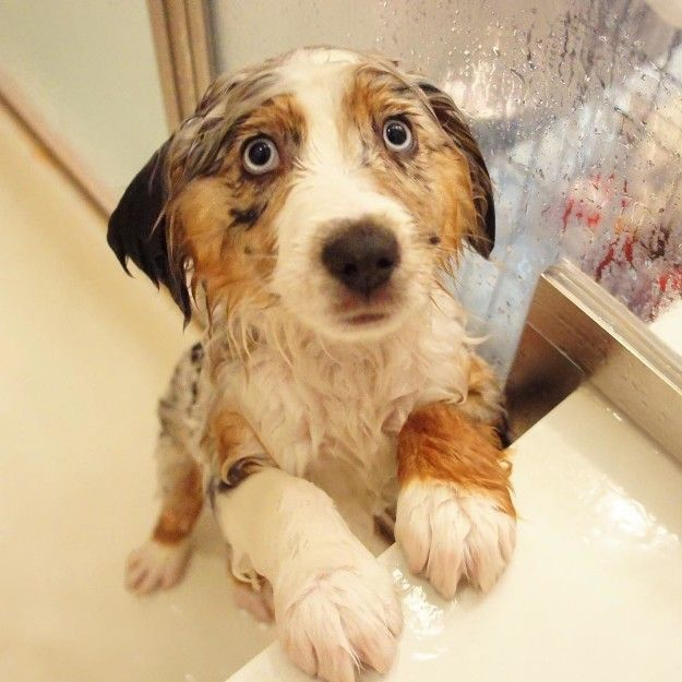 Because remember, they're cold as ice. | 17 Reasons Australian Shepherds Are The Worst Possible Breed Of Dog You Could Adopt