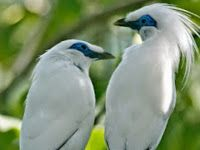 Perawatan Burung Eksotis Si Jalak Bali 2