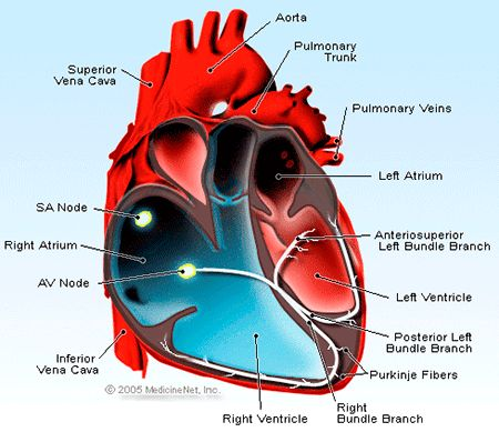 Picture of the cross section of the heart