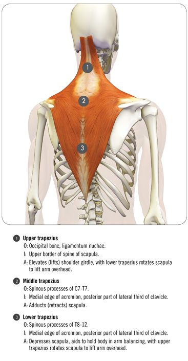 the trapezius and serratus anterior in full arm balance