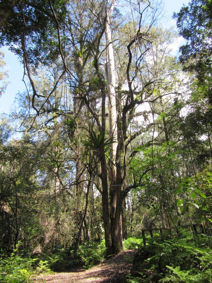 Black Cockatoo habitat - Goomburra north side