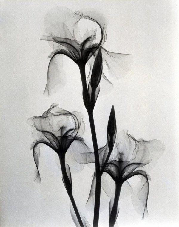 Dans les années 30, un radiologiste de Los Angeles s'est amusé à... radiographier des fleurs :)