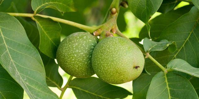 Jak připravit svatojánský likér: ořechovice krok za krokem