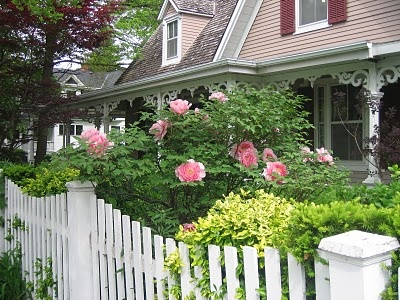 Pretty peony bush.....peonies come back year after year...they can be one of the oldest flowering bushes in the garden...love them