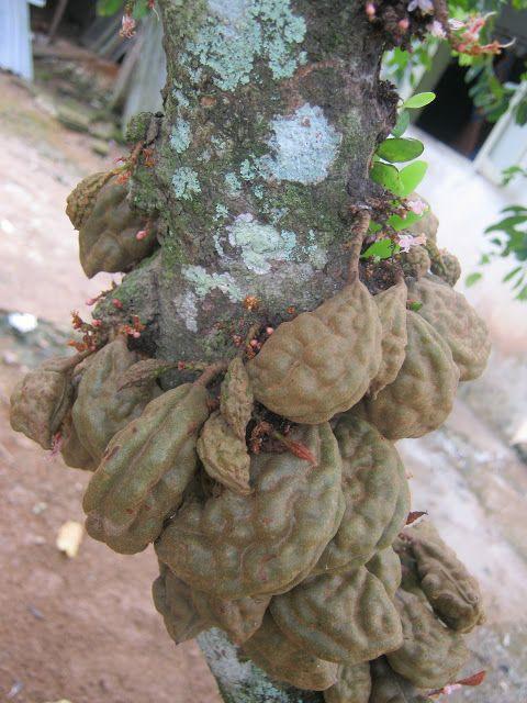 Nam Nam or Buah Katak Puru (Cynometra cauliflora) is an edible fruit tree native to Malaysia