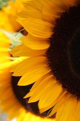 .: Yellow Flowers, Favorite Flowers, Flowers Fields, Sunflowers Flowing Fields, Sunflowers Reminder, Sunny Sunflowers, Sunflowers Close, Daughters Sunflowers, Sunflowers Beautiful Flowers