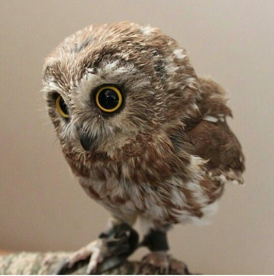 Looked up baby owls for an hour...my mistake. #obsessed