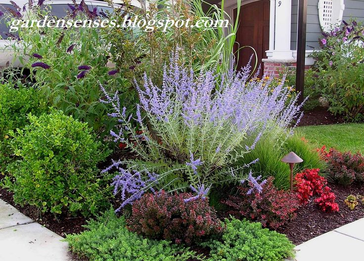 Easy care garden with Russian Sage (Perovskia), Crimson Pygmy Barberry, Juniper,  Japanese Holly and Butterfly Bush (Buddleja)