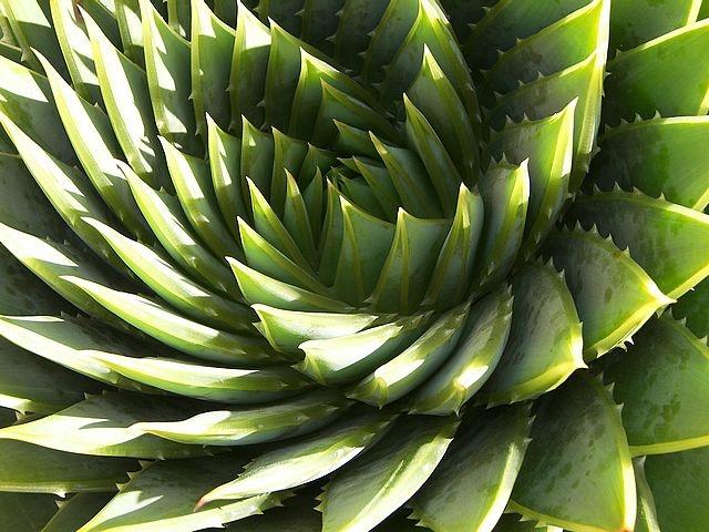 Resultados de la Búsqueda de imágenes de Google de http://www.cepolina.com/photo/nature/plants/asphodelaceae/aloe/2/aloe_polyphylla_spiral_zoom.jpg