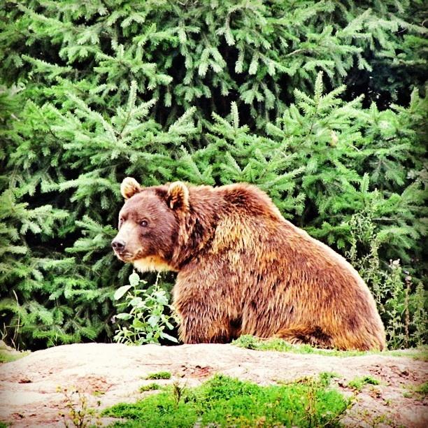#bär #kodiakbär #braunbär #bear #brown_bear #grizzly #zoo #zoom #gelsenkirchen #erlebniswelt #alaska #tiere #animals - @haeppi- #webstagram