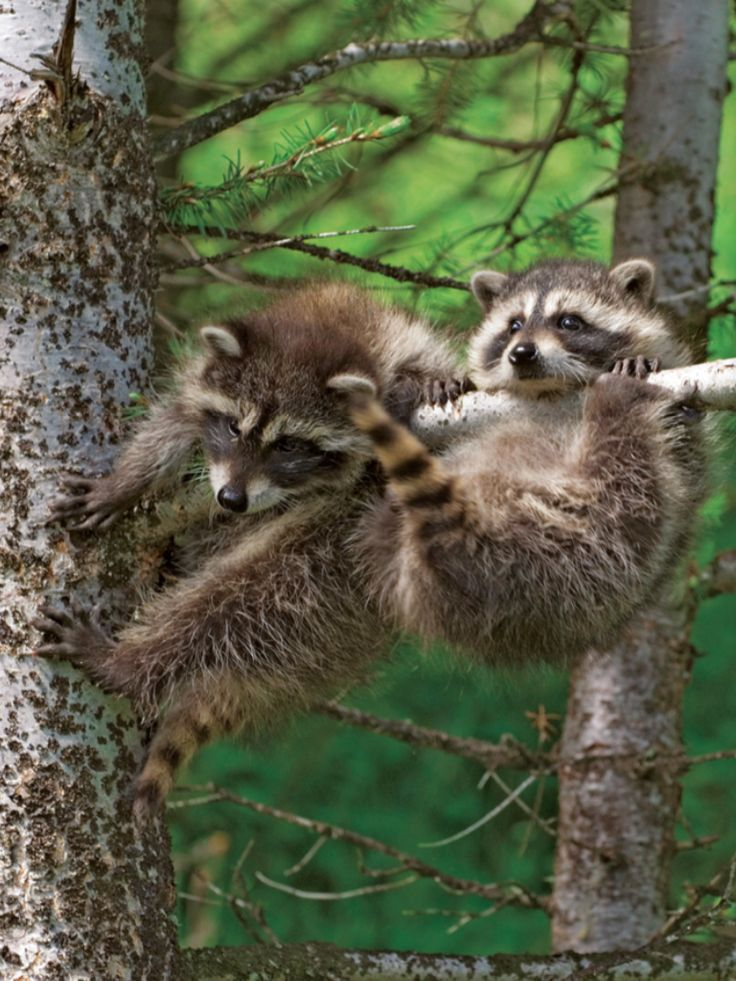 baby animals racoons