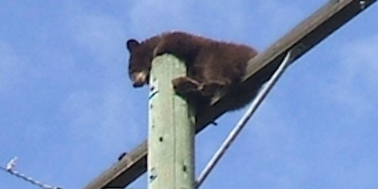 That's No Place For A Baby Bear!  News item from Lumby, BC October 2013 via Huffington Post