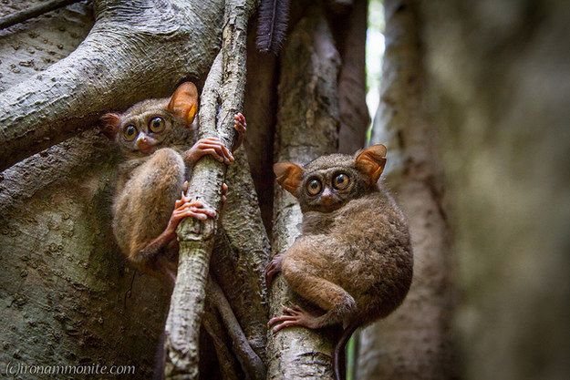 Togetherness is a constant: when a predator is nearby, tarsiers gather around to take it on. | Philippine Tarsiers Are The Most Magical Creatures On Earth