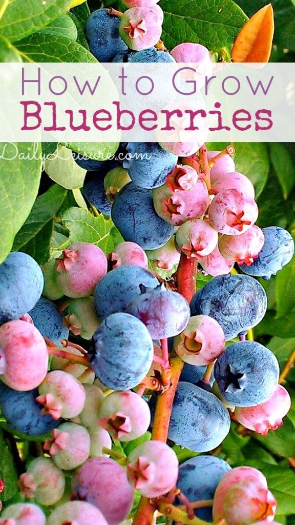 Blueberries If you can master the soil then you will have a plant that