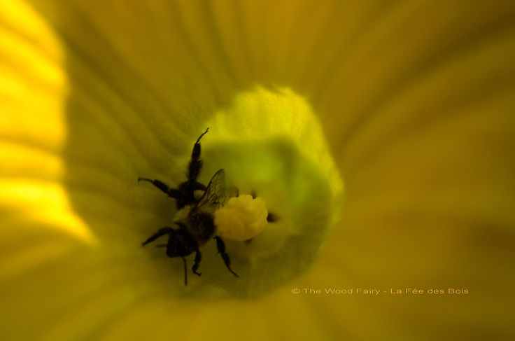 Bumbles Bee in Squash Flower