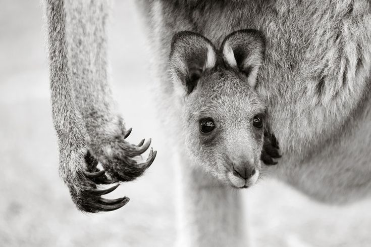 "National Geographic Photo Contest 2011// A ""joey"" (baby) Eastern Grey Kangaroo pokes a head out from its mother's pouch. The baby kangaroo will continue to peek until if feels safe enough to emerge for short periods. After 7 to 10 months it will leave the pouch for the last time. (© Brent Lukey) #"