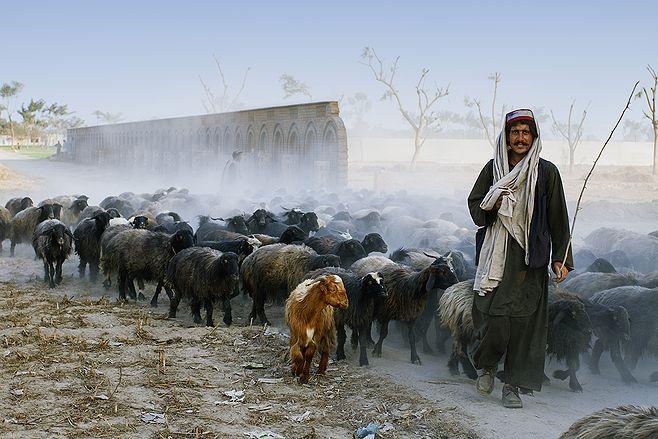 Shepherd with Goats on Rural Roads of Layyah,Pakistan. Photo by Zeeshan Ali