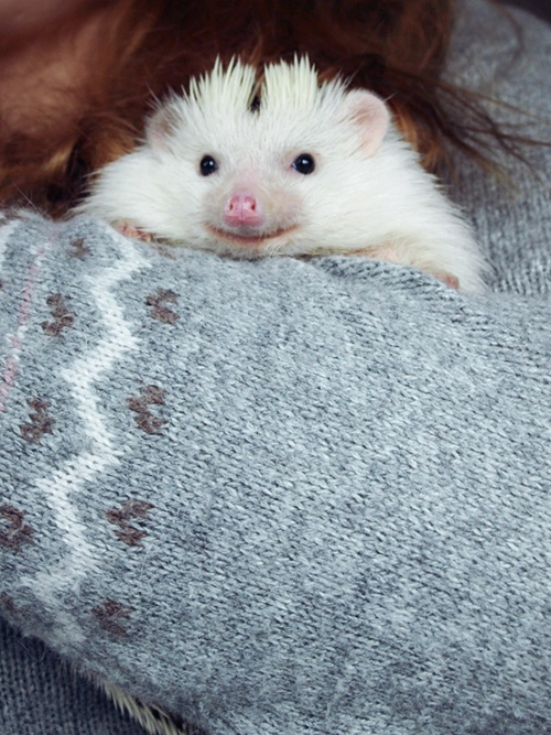 {a very cozy Loki the hedgehog} sweetest little face