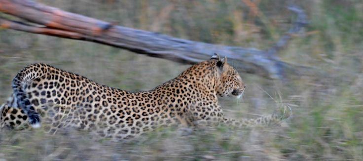 Leopards of Londolozi