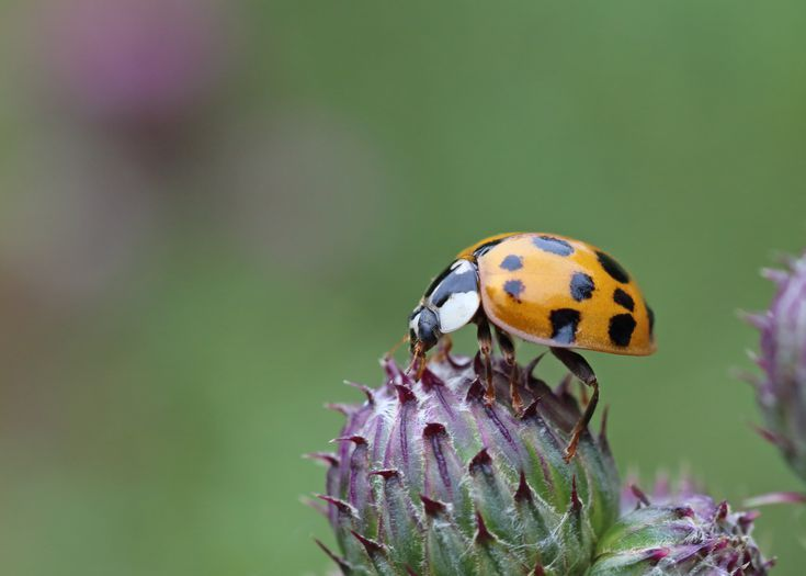 Lucky Lady Bugs Versus Harmful Asian Lady Beetles