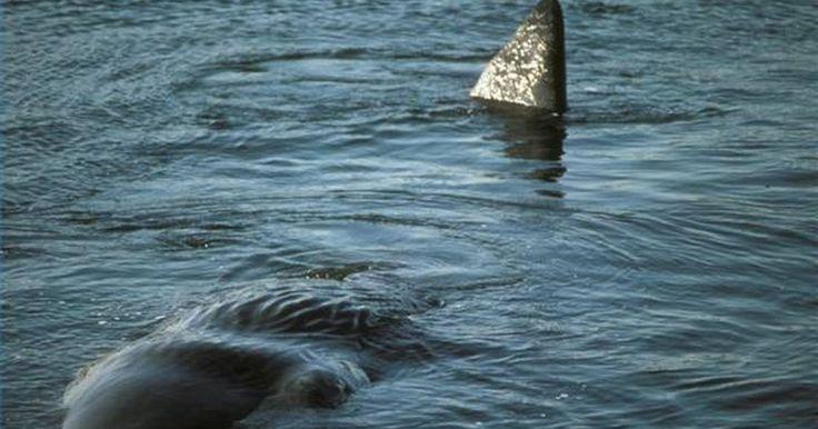 Por que as baleias não se afogam enquanto dormem?. Os cientistas entendem muito pouco sobre como as baleias dormem. Uma observação de cachalotes na costa norte do Chile deu algumas explicações sobre o assunto.
