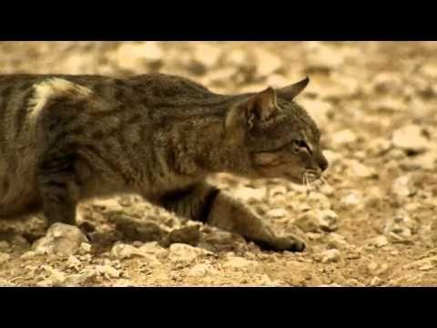 Kat oefent zijn jachtinstinct uit op duiven