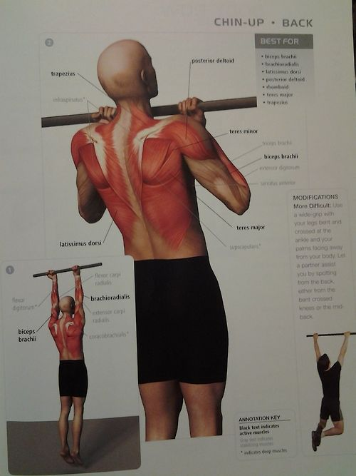 muscle diagram  BACK: chinup (back muscles, biceps brachii, posterior deltoid) ? rep (start
