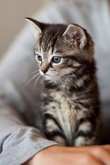 Silver Tabby Kitten...maybe it's time