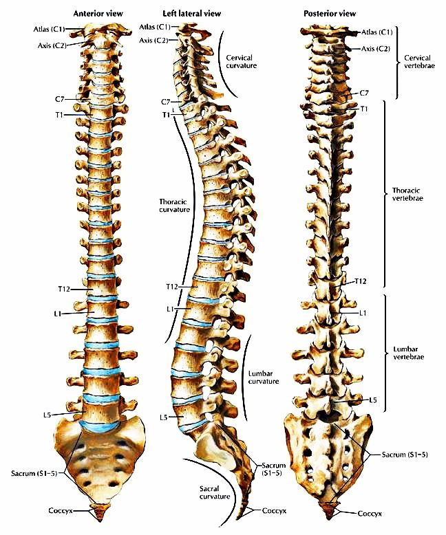 Picture of the spine anatomy