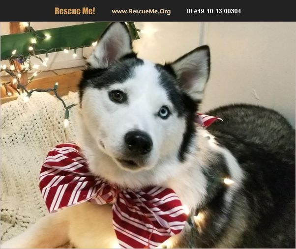 Rescue Me Id 19 10 13 00304 Husky Losing A Dog Husky Adoption