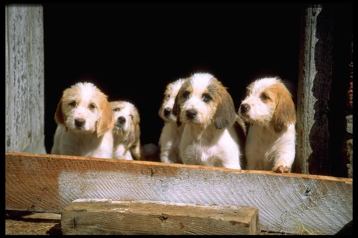 American Fox Hound dog photo | American Foxhound Puppy Pictures | Hound Dog Puppy Pictures
