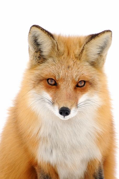 ethereo:  Renard Roux Red Fox   by (r.gelly)