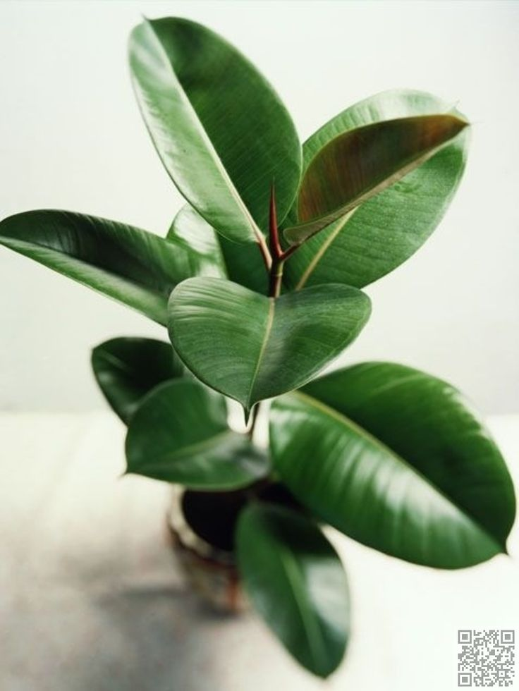 rubber plant 27 awesome indoor houseplants to brighten up your - Tall Flowering House Plants