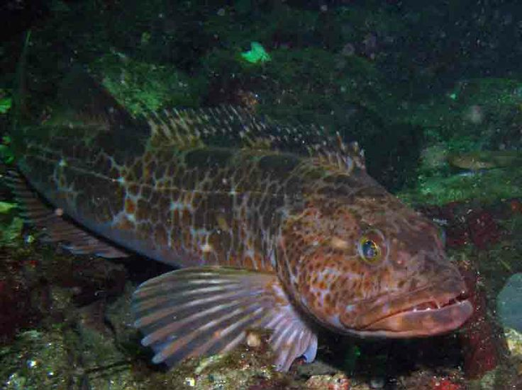 Ling cod ling cod 1 fishing and foraging for Pacific northwest fish
