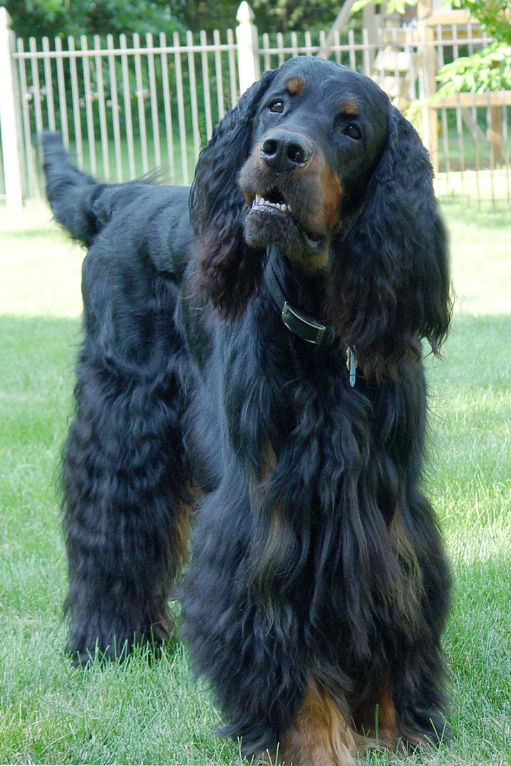 26 best images about Gordon Setter on Pinterest  Limited edition prints, English and Canvas prints