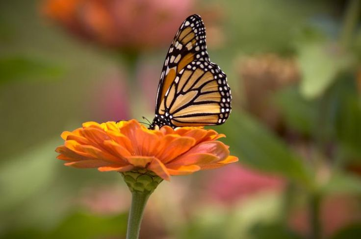 Eastern Monarch Butterflies May Be At Risk Of Extinction Within 20 Years — HuffPost Living And Nonliving, Save Mother Earth, Out Of The Woods, Bugs And Insects, Science Art, Life Science, Monarch Butterfly, Adventure Time, Backyard