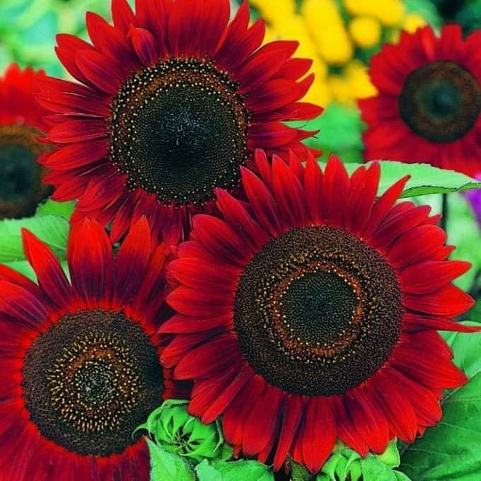 Pin By Yanyan Ganda On Fiori In 2020 Red Sunflowers Annual Flowers Flower Seeds