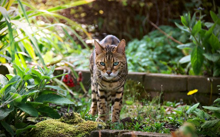 Scarica sfondi Gatto del bengala, animali, gatti, letto di fiori, di un gatto in erba