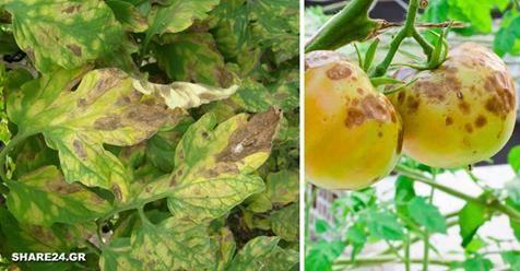 Μωσαϊκό: Αναγνωρίστε τις Ασθένειες της Ντομάτας  και ...