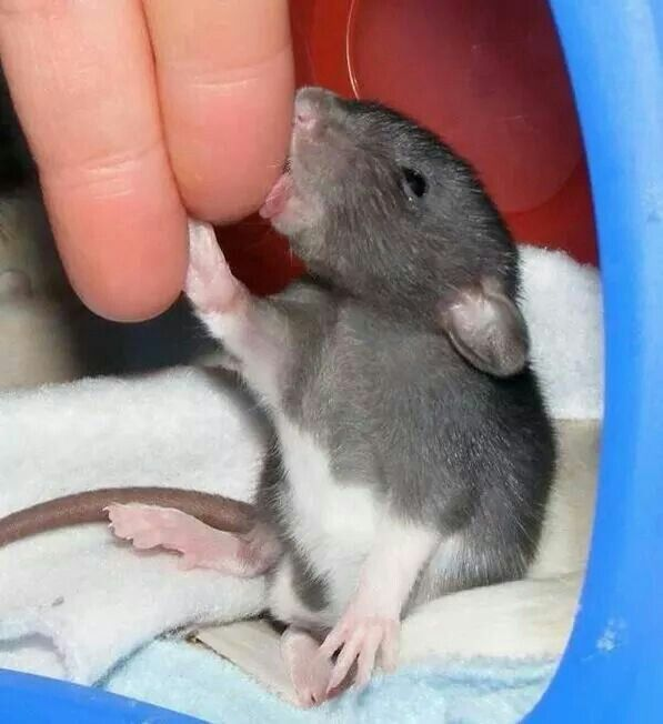 lick your rat
