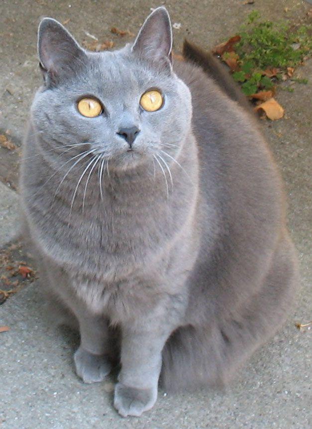 British blue cat lost