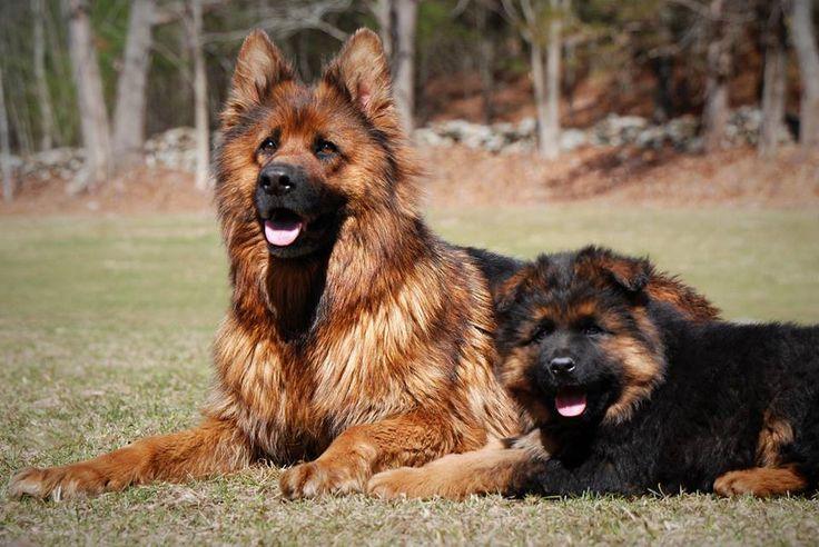 Long coat German Shepherd Dogs by Grunwald Haus. Das Awesome vom Grunwald Haus and his mother Bonita