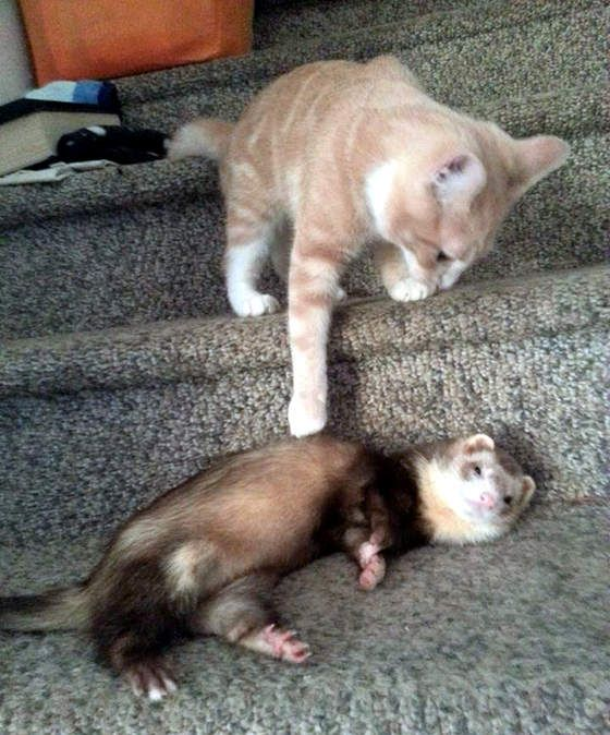 Best Ferrets Images On Pinterest Ferrets Rodents And Baby - Rescued kitten adopted by ferrets now thinks shes a ferret too