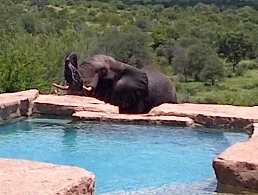Elephants drinking out of the pool!
