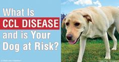 Cranial cruciate ligament (CCL) injuries are all too common in dogs today. Find out what's behind the breakdown in these all-important knee joint ligaments. http://healthypets.mercola.com/sites/healthypets/archive/2016/05/25/cranial-cruciate-ligament-disease.aspx