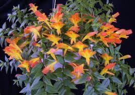A Goldfish plant is an easy care #houseplant that produces small orange flowers that look like goldfish.