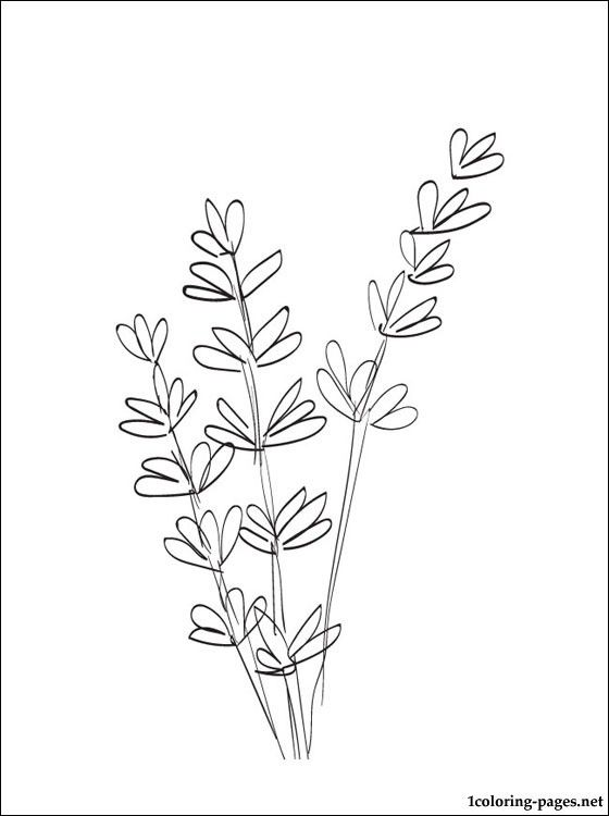 Lavender coloring and printable page | Coloring pages